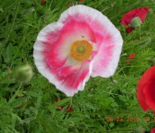 Close-up-of-Iceland-Poppy